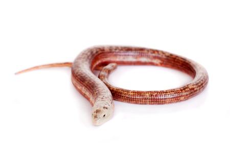 Sheltopusik or European Legless Lizard on white photo