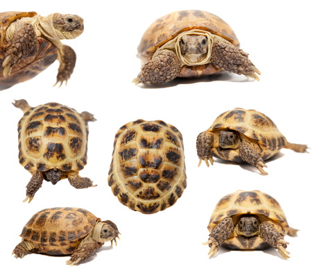 TORTOISE: Russian or Central Asian tortoise on white