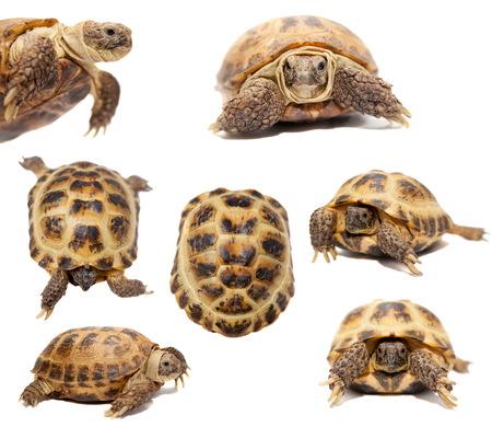 tortuga: Tortuga asi�tica de Rusia o central en blanco