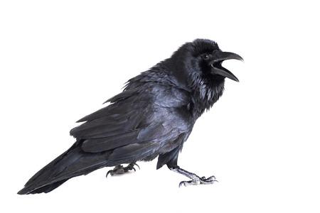 Cuervo común aislado en blanco Foto de archivo