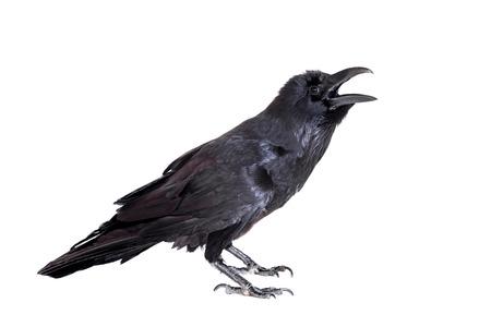 Raven comune isolato su bianco