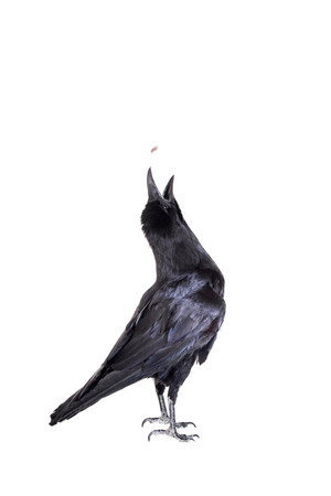 raven: Common Raven isolated on white