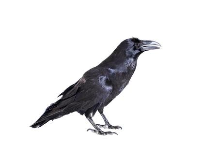 Cuervo común aislado en blanco