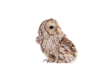 ural owl: Ural Owl on the white background