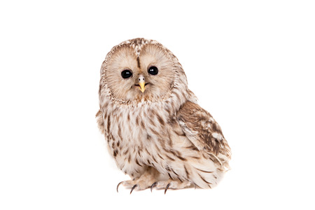 night owl: Ural Owl on the white background