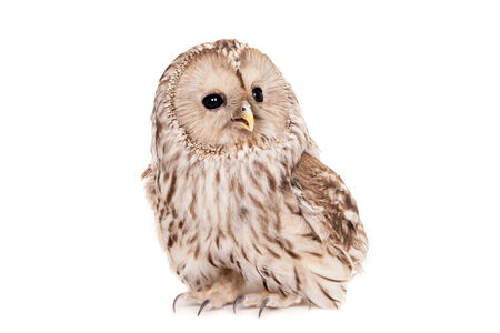Ural Owl on the white background photo