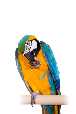 Blue and Yellow Macaw on the white background photo