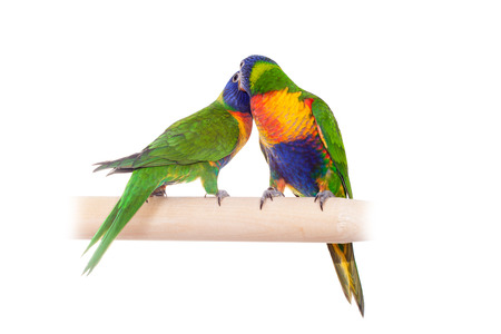 two parrots: Rainbow Lorikeet isolated on white