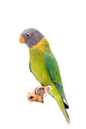Female of plum-headed parakeet on white photo