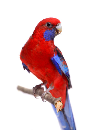 Crimson Rosella on white