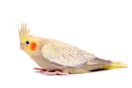 One cockatiel parakeet baby photo