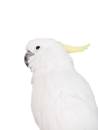 Sulphur-crested Cockatoo on white photo