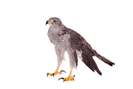 Northern goshawk on white Stock Photo