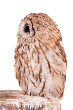tawny: Tawny or Brown Owl isolated on white Stock Photo