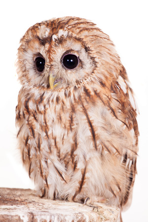 Tawny or Brown Owl isolated on white photo
