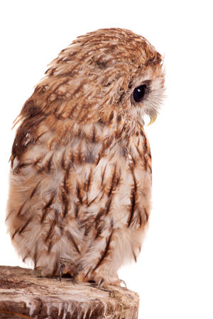 tawny owl: Tawny or Brown Owl isolated on white Stock Photo