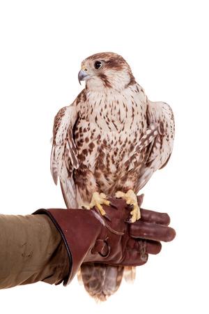 cherrug: Saker Falcon isolated on white