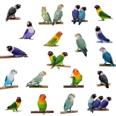 african grey parrot: Set Lovebirds on white