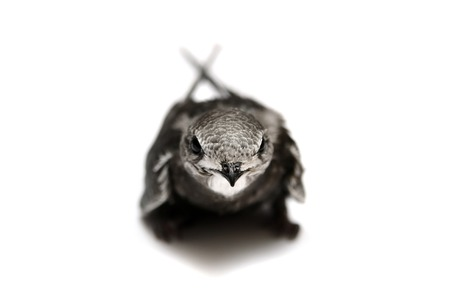 swift: Common Swift on white Stock Photo