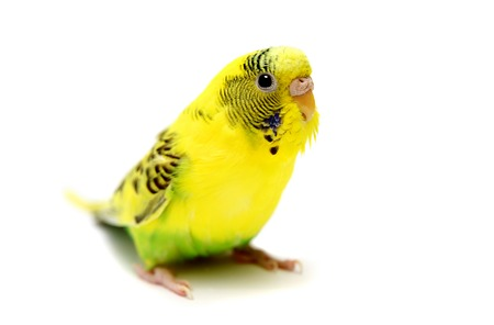 Budgie female on white