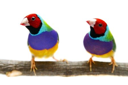 Gouldian Finch on white background Stock Photo - 29715598