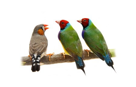 Two Gouldian and zebra Finches on white Stock Photo - 29715602