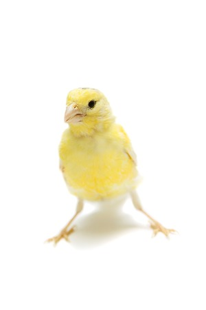 serine: Yellow canary on white