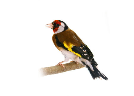European goldfinch on white Stock Photo
