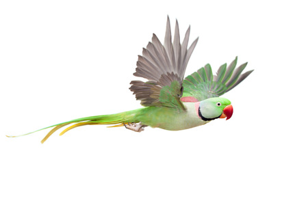 Big green ringed or Alexandrine parakeet on white