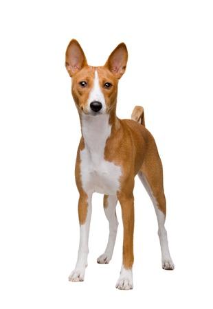doggy position: Red basenji dog isolated on white background