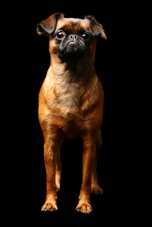 brussels griffon: Funny Petit brabancon on the black background Stock Photo
