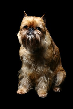 brussels griffon: Funny griffon Bruxellois on the black background