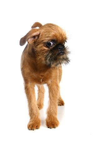 griffon bruxellois: Griffon Bruxellois puppy on the white background Stock Photo