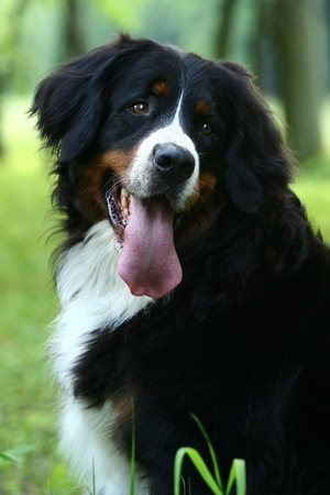 berner: Bernese mountain dog, Berner Sennenhund, on nature