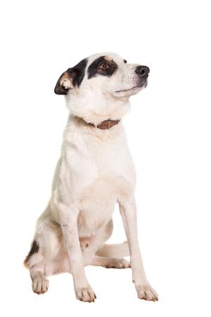Mixed breed dog isolated on white background photo