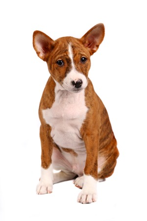 doggy position: Little Basenji puppy, brindle colour, 2 month, isolated on white
