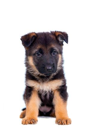 흰색 배경에 고립 된 독일 셰퍼드 강아지 스톡 콘텐츠
