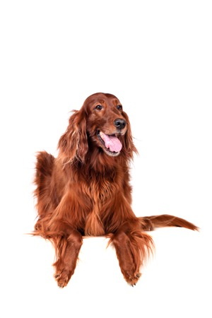 Beautyfull Irish Red Setter isolated on white background photo