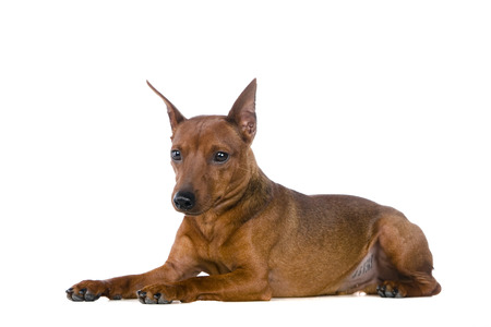 Dwarfish pinscher costs. Isolation on the white background
