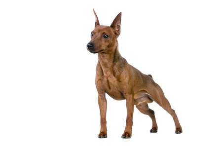 animalscut: Dwarfish pinscher costs. Isolation on the white background