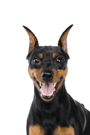 dwarfish: Dwarfish pinscher costs. Isolation on the white background