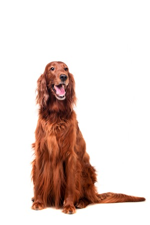 Beautyfull Irish Red Setter isolated on white background