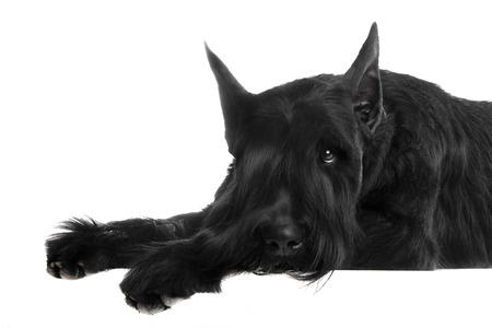 Giant black schnauzer, Riesenschnauzer, on a white background Imagens