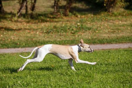 Whippet dog run on the green grass photo