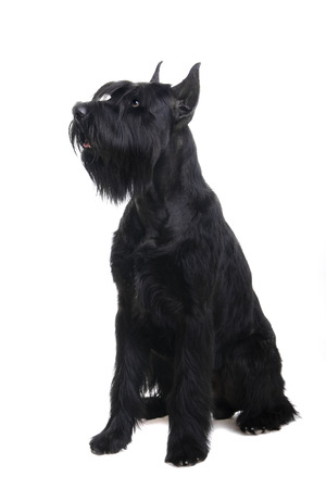 Giant black schnauzer, Riesenschnauzer, on a white background Stock Photo