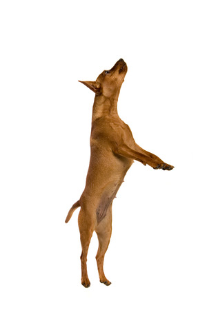 outpurebred: Dwarfish pinscher costs. Isolation on the white  Stock Photo