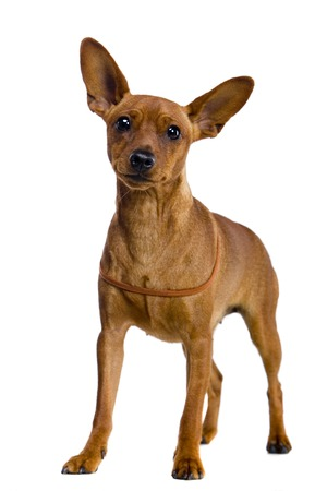 dwarfish: Dwarfish pinscher costs on white