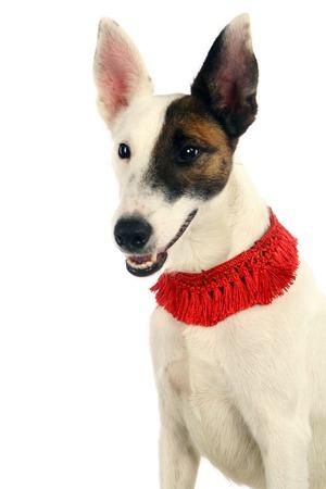 doggy position: White sleek-haired fox-terrier on white