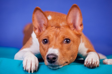 Red basenji on blue Stock Photo