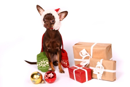 Russian toy terrier on white  photo